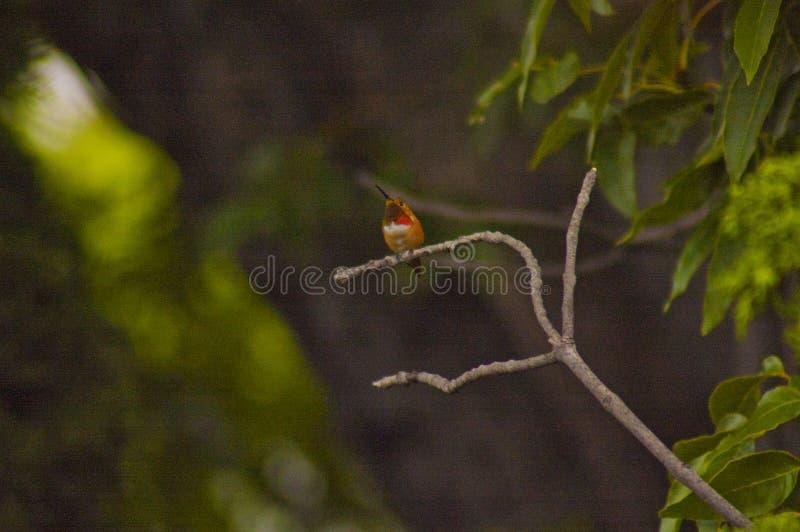 Colibri pequeno empoleirado em um ramo fotografia de stock