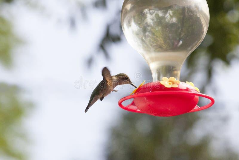 Colibri planant au-dessus du conducteur photographie stock libre de droits