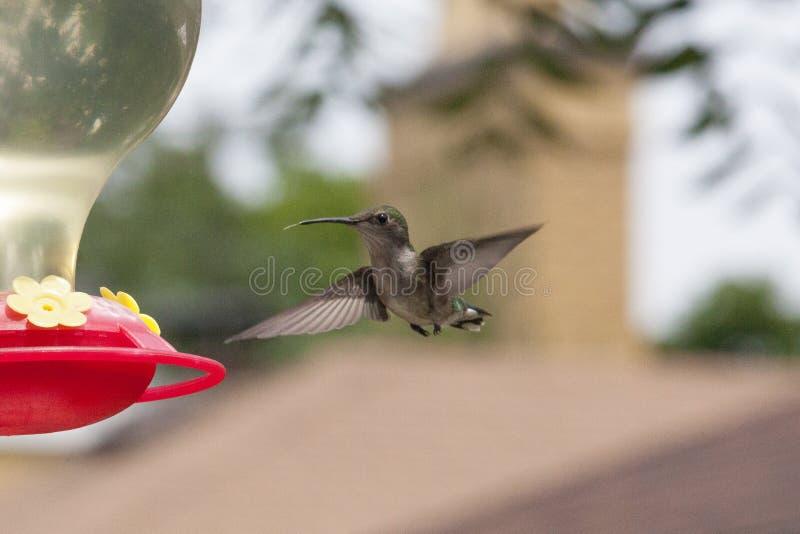 Colibri planant avec la langue prête pour le conducteur photographie stock libre de droits