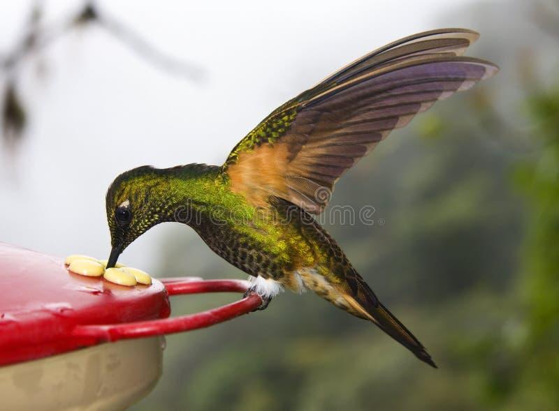 colibri Polir-suivi de coronne - Equateur image stock