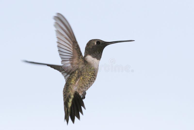 Colibri Preto-chinned foto de stock