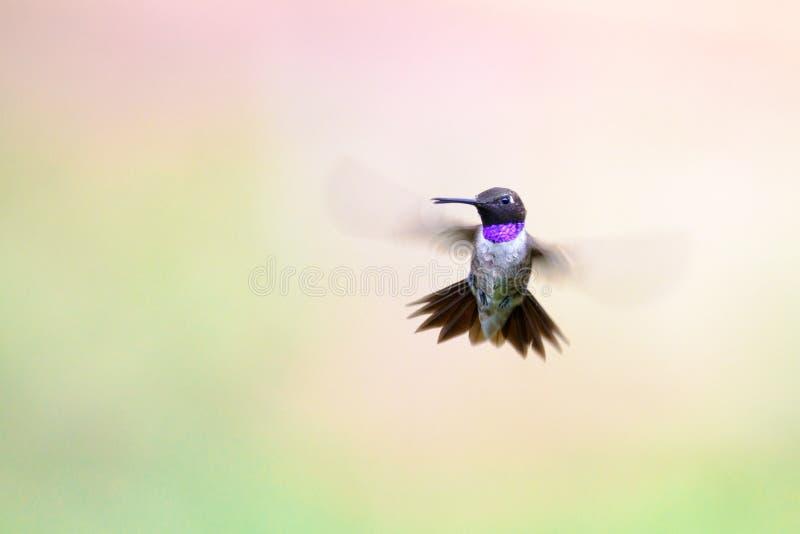 Colibri Preto-chinned imagens de stock