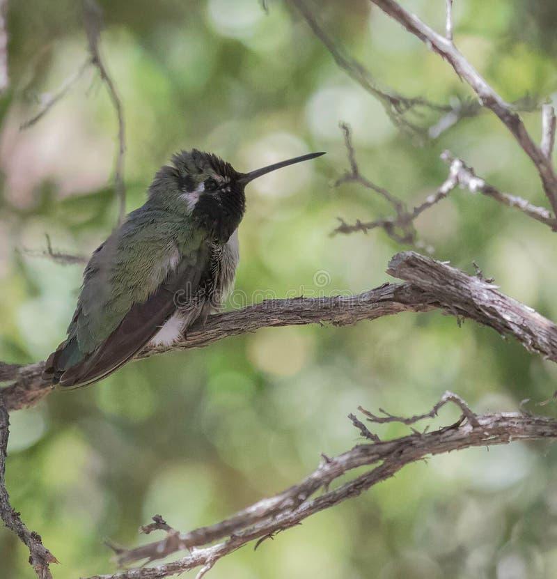 Colibri preto-chinned masculino fotografia de stock