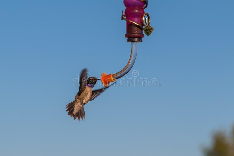 Colibri preto-chinned masculino no alimentador foto de stock