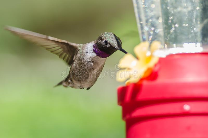 Colibri preto-Chinned que chega no alimentador para uma refeição imagens de stock