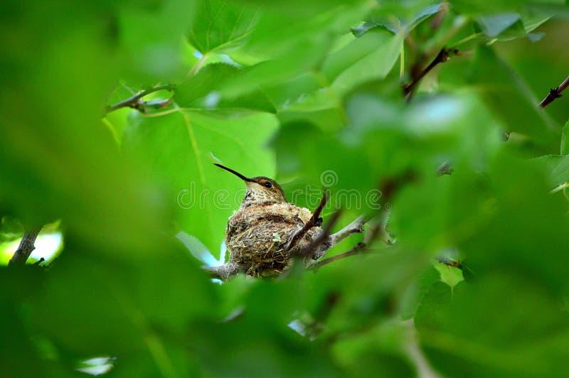 Colibri que senta-se no ninho imagem de stock royalty free