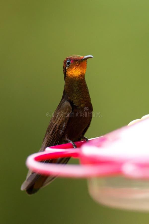 Colibri rouge de topaze se reposant sur le conducteur rouge, portrait d'oiseau, forêt tropicale caribean, Trinidad-et-Tobago, hab photo stock