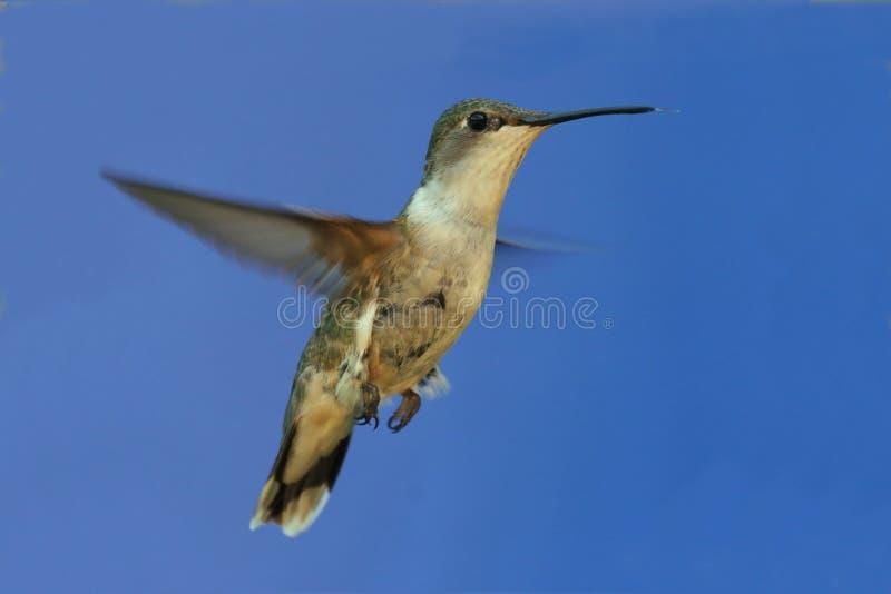 colibri Rubi-throated fotos de stock royalty free
