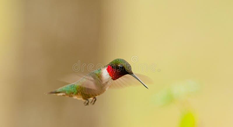 Colibri Rubi-Throated (colubris do archilochus) imagem de stock royalty free