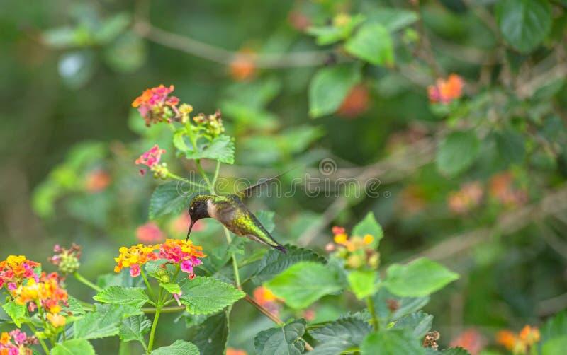 Colibri Rubi-Throated fêmea na flor do Lantana, parque de DeSoto do forte, Florida imagens de stock