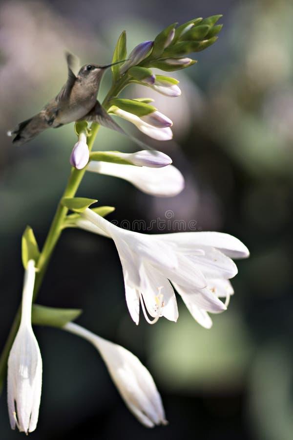 Colibri Rubi-throated imaturo pela flor do hosta fotografia de stock royalty free