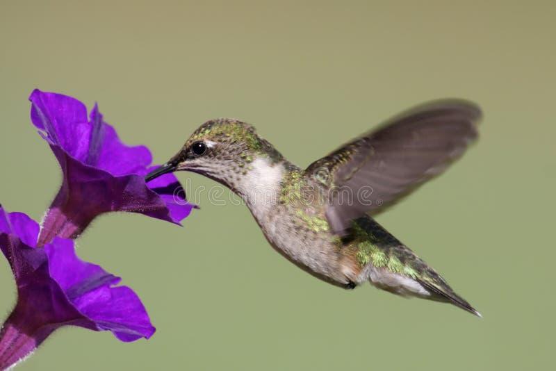 Colibri Rubi-throated juvenil imagem de stock royalty free