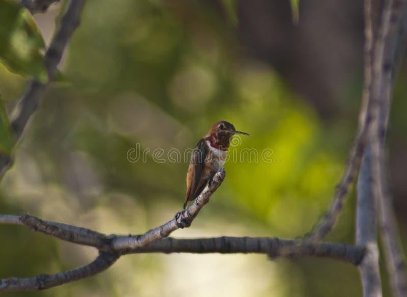 Colibri Rubi-throated minúsculo em olhares do perfil na câmera imagens de stock royalty free