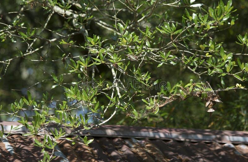Colibri Rubi-Throated que esvoaça em torno das folhas da árvore fotografia de stock