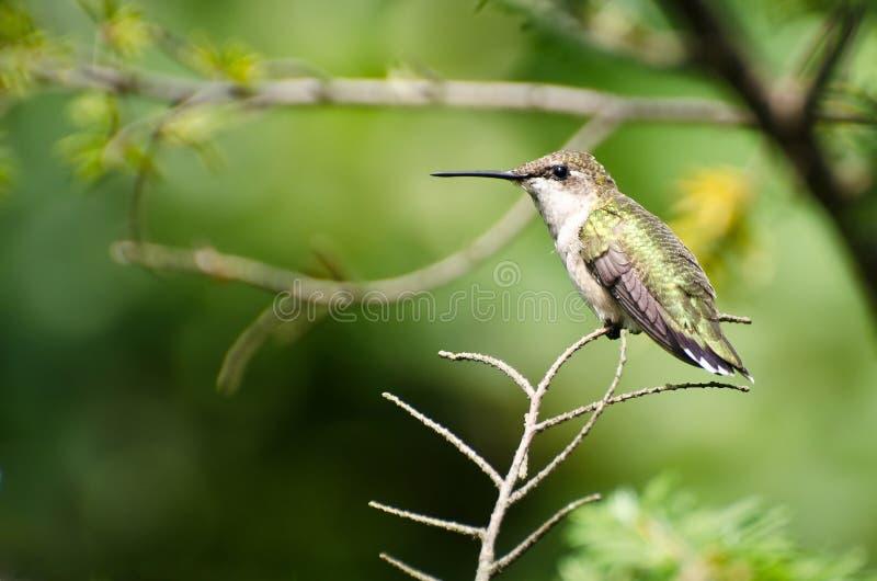 Colibri Rubis-Throated été perché dans un arbre photos libres de droits