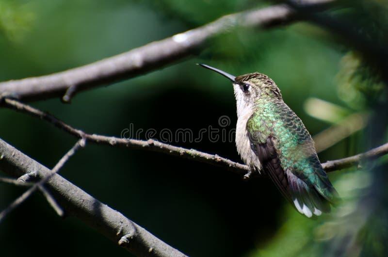 Colibri Rubis-Throated été perché dans un arbre image stock