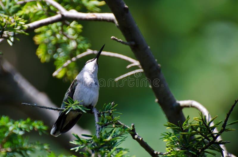 Colibri Rubis-Throated été perché dans un arbre recherchant le problème image libre de droits