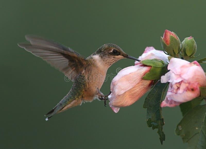 colibri Rubis-throated images libres de droits