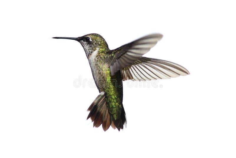 Colibri Rubis-throated d'isolement image libre de droits