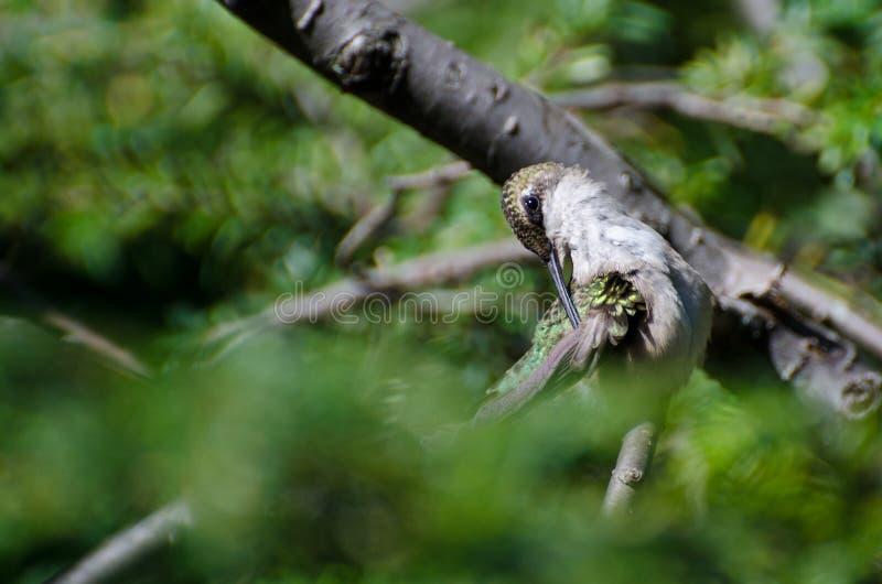 Colibri Rubis-Throated lissant images libres de droits