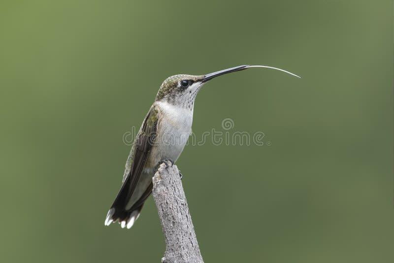 colibri Rubis-throated montrant sa languette longue photos libres de droits