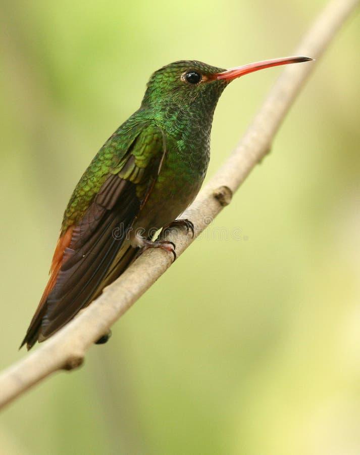 colibri Rufous-atado imagem de stock royalty free