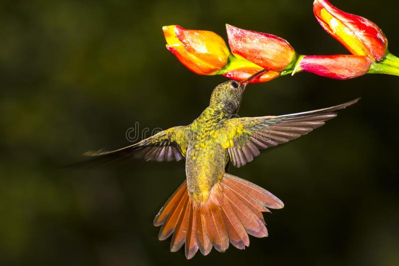 colibri Rufous-atado, tzacatl de Amazilia que nectaring foto de stock