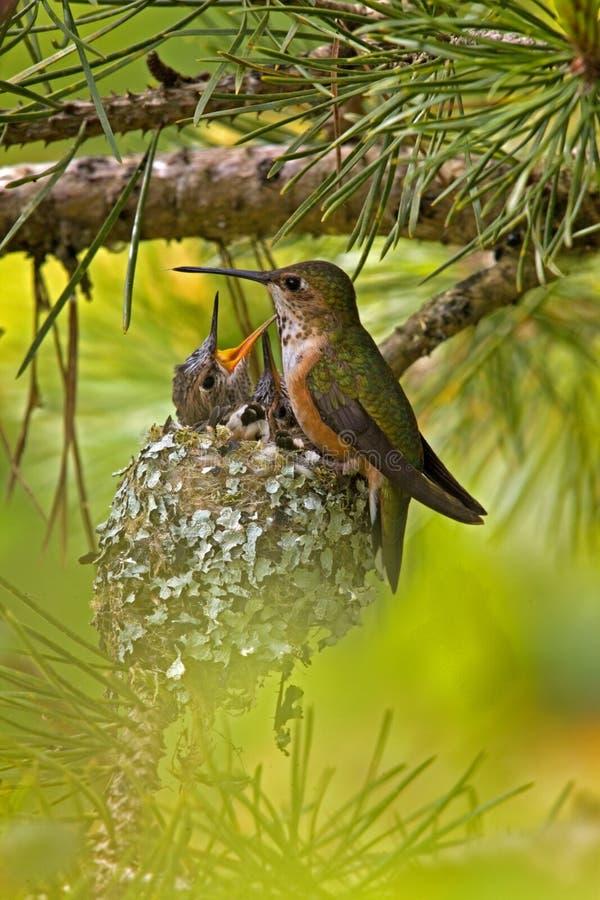 Colibri Rufous au nid avec des jeunes photographie stock
