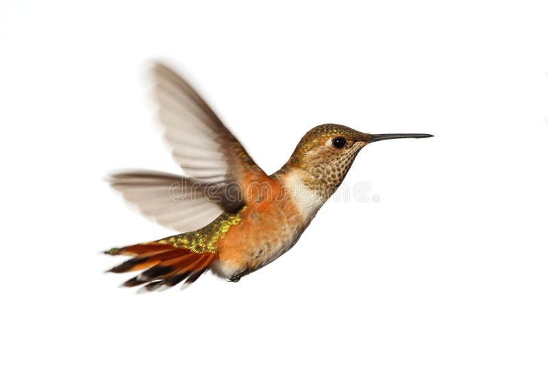 Colibri Rufous (rufus De Selasphorus) Imagem de Stock Royalty Free