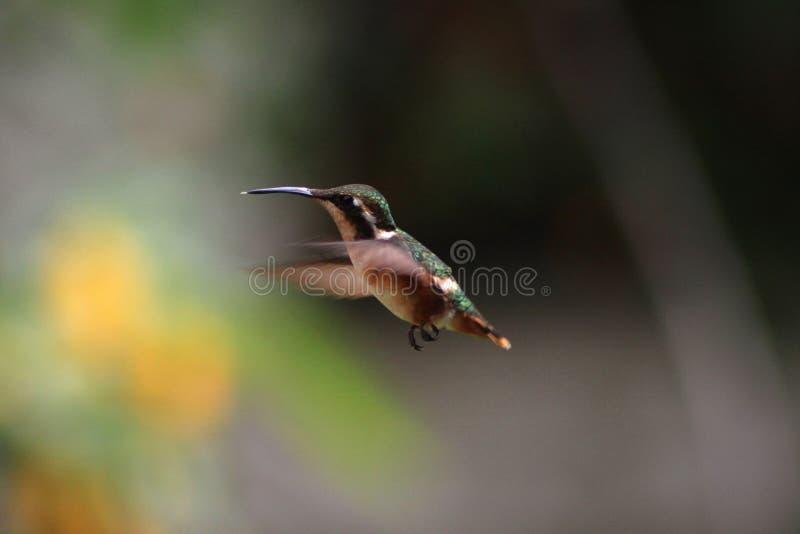 Colibri Small Bird Free Public Domain Cc0 Image