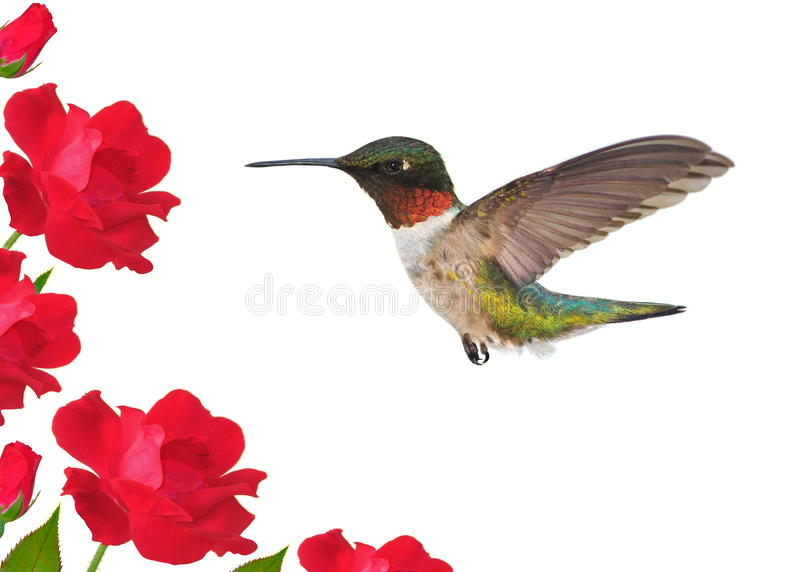 Colibri throated do Ruby- (colubris do Archilochus) foto de stock
