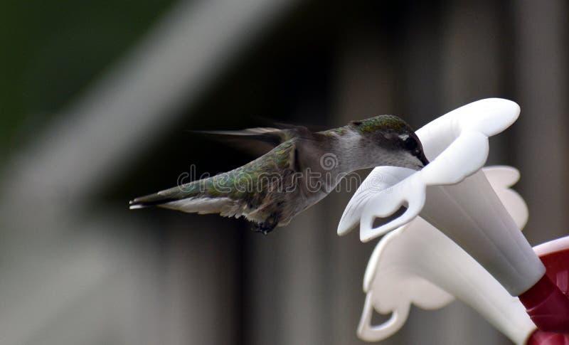Colibri Throated rouge images libres de droits