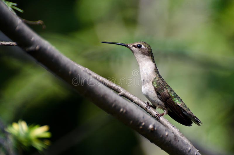 Colibri Throated rouge photos stock