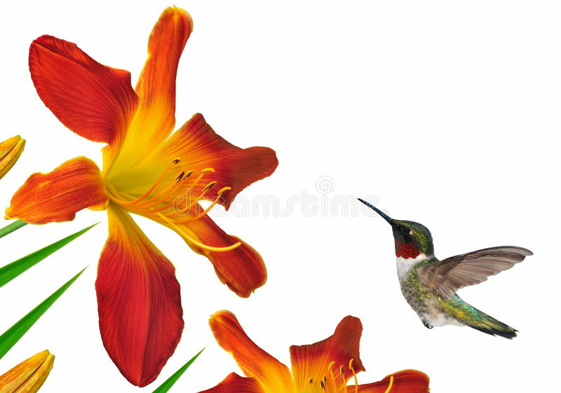 Colibri throated rouge aux Daylilies photo stock