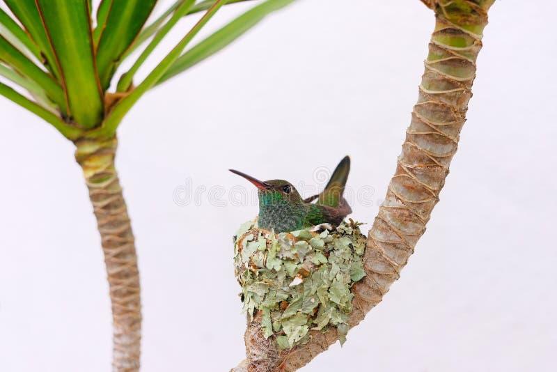 Colibri vert Éclatant-gonflé par femelle, Chlorostilbon Lucidus, se reposant dans son nid et hachant les oeufs, le Brésil image stock