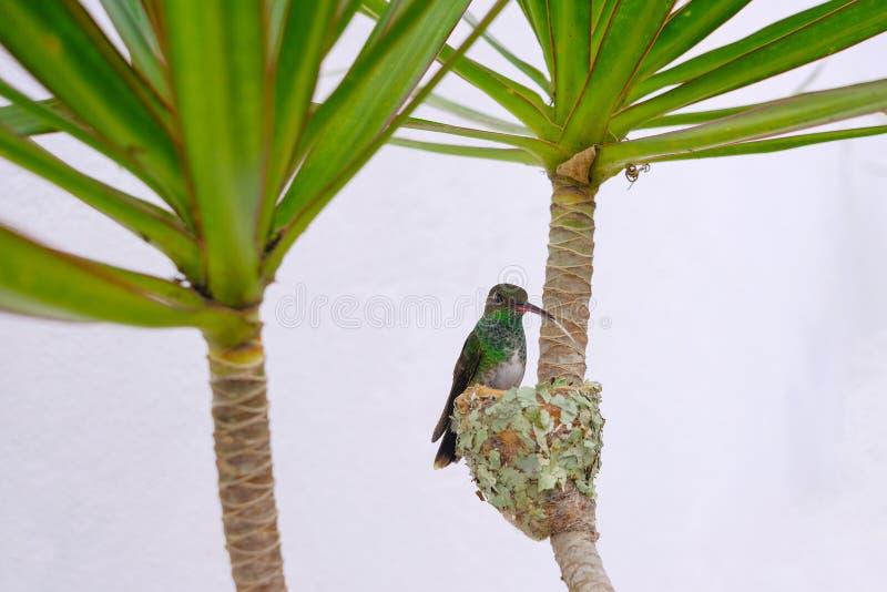 Colibri vert Éclatant-gonflé par femelle, Chlorostilbon Lucidus, se reposant sur son nid, le Brésil image libre de droits