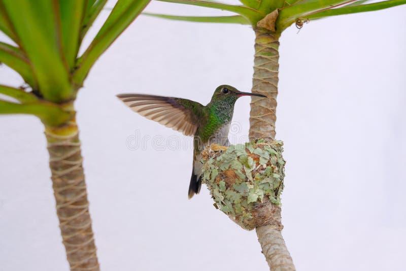 Colibri vert Éclatant-gonflé par femelle, Chlorostilbon Lucidus, volant de retour à son nid, le Brésil photographie stock libre de droits