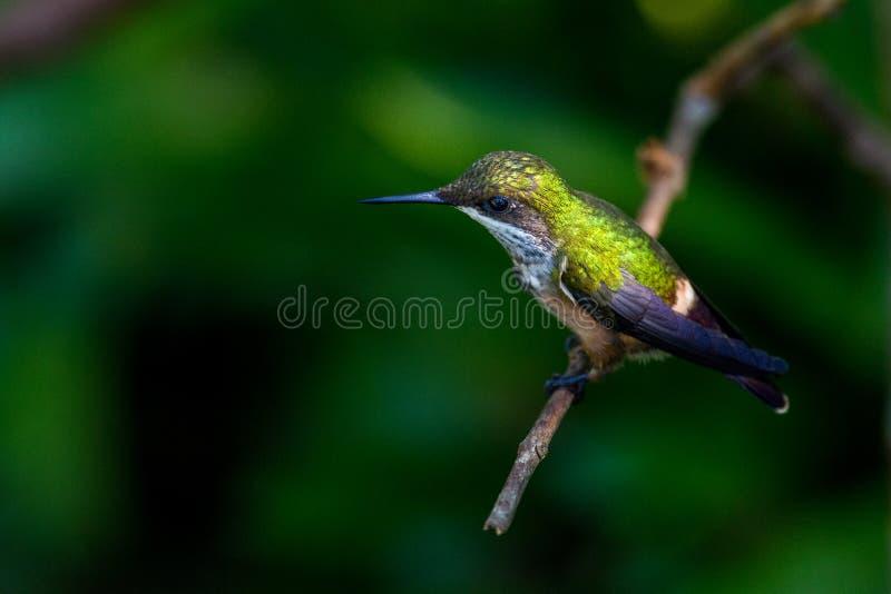 Colibri vert images libres de droits
