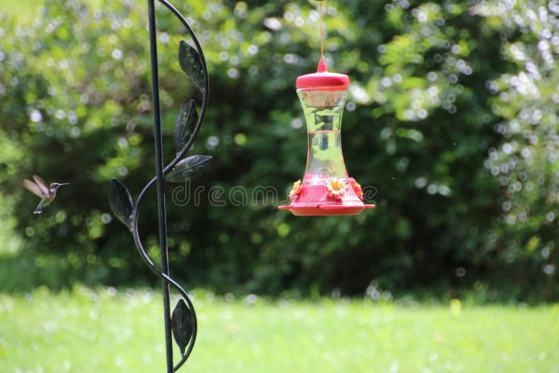 Colibri volant à la nature de conducteur photos stock