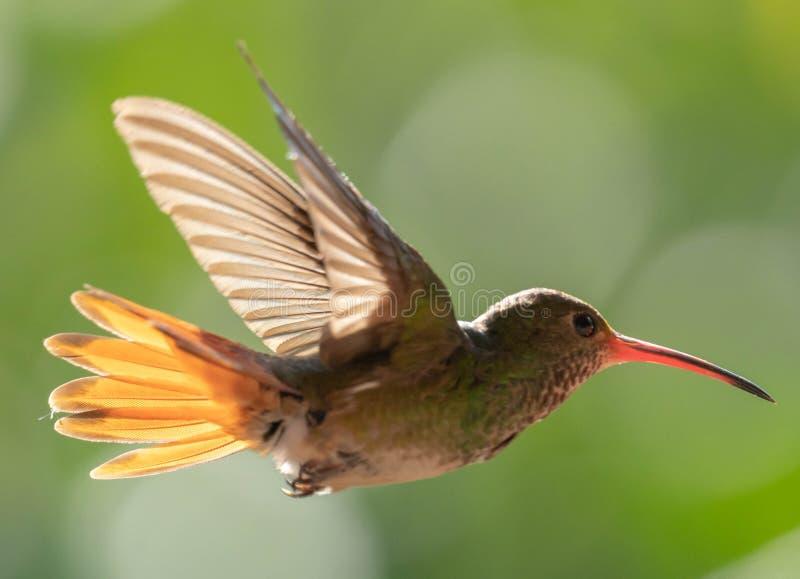 Colibri volant en Equateur image stock