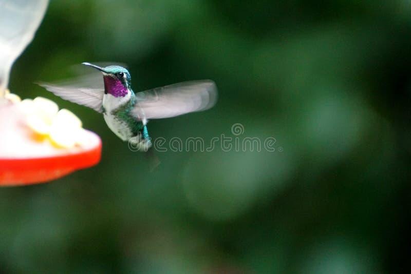 colibri woodstar Blanc-gonflé image stock