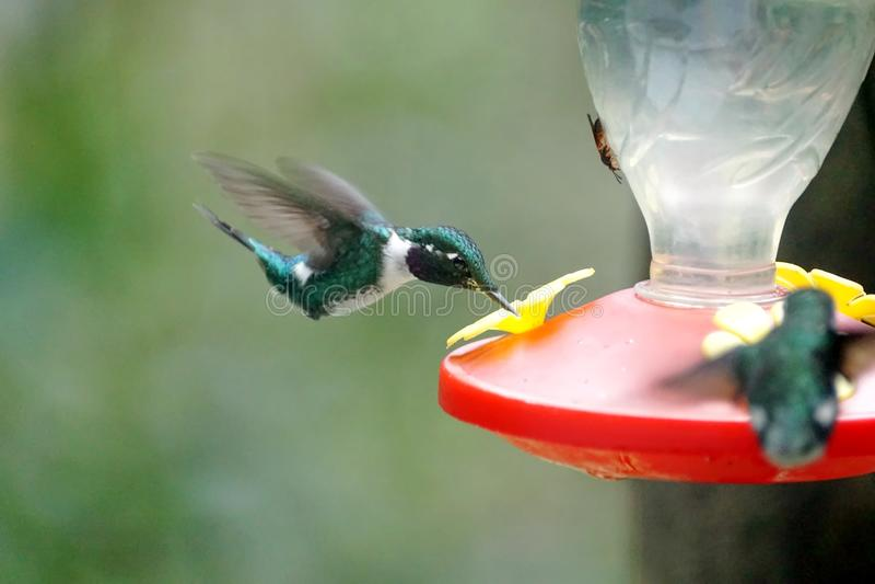 colibri woodstar Blanc-gonflé images stock
