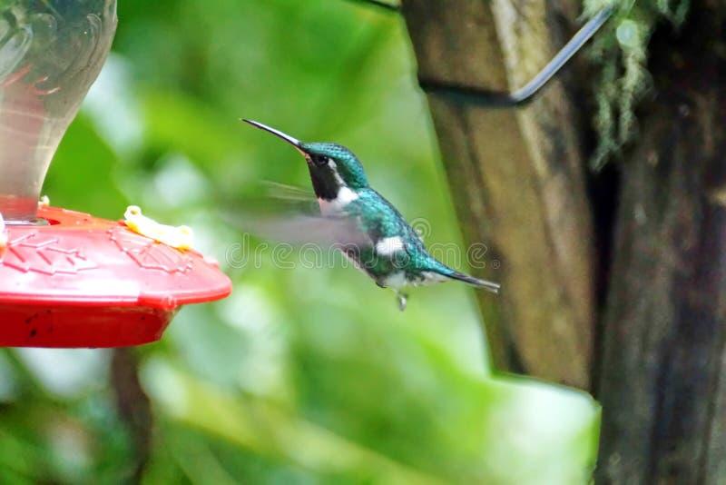 colibri woodstar Blanc-gonflé photos stock