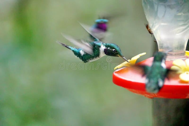 colibri woodstar Blanc-gonflé photo libre de droits
