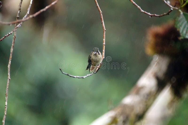colibri woodstar Blanc-gonflé photos libres de droits