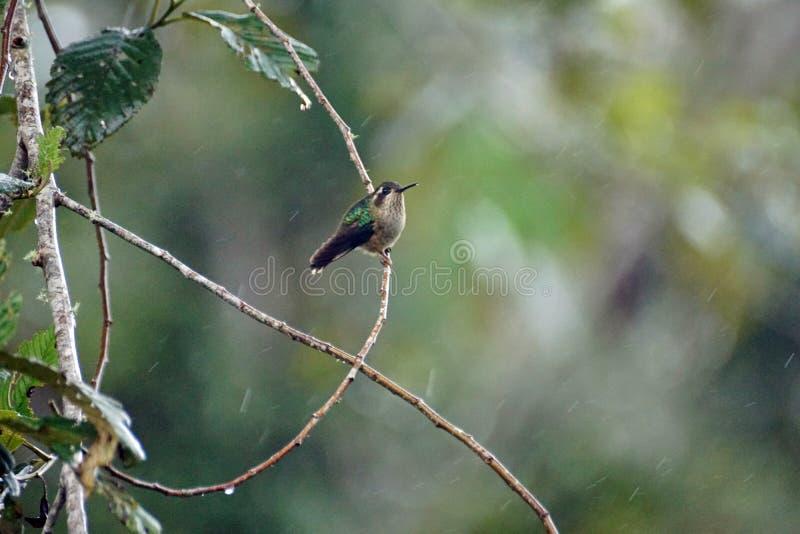 colibri woodstar Blanc-gonflé photographie stock