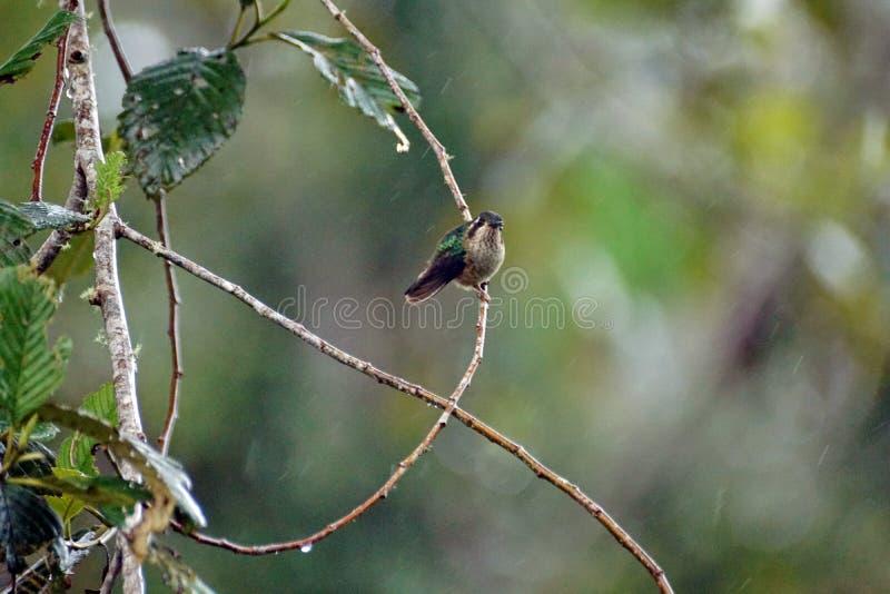 colibri woodstar Blanc-gonflé images libres de droits