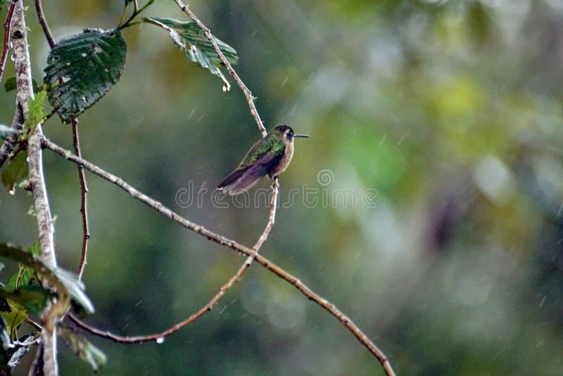 colibri woodstar Blanc-gonflé photographie stock libre de droits