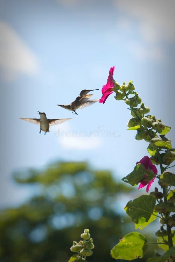 Colibris à une fleur images libres de droits