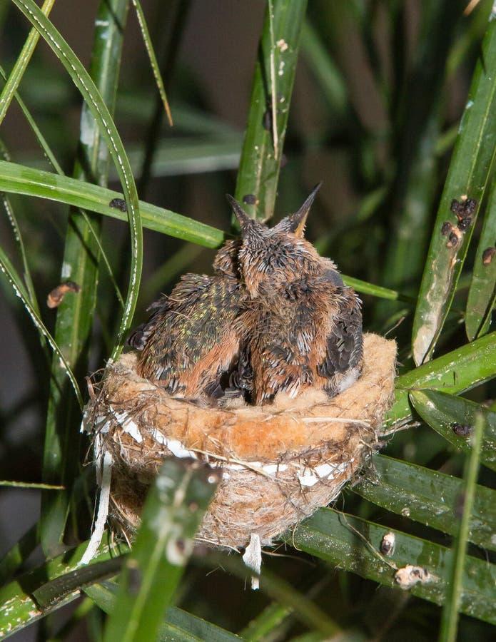 Colibris infantiles ensemble dans leur nid photo stock